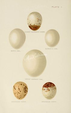 birds_parts_eggs-03135 - 010 - high qulity Paper 1900s botany naturalist pages  botanical free 300 dpi decoration instant printable ArtsCult.com nice scan natural pre-1923 download nature wall vintage beautiful collection Victorian pack supplies art plants books collage Graphic flora old 18th transfer blooming Artscult 1700s 17th ArtsCult use Pictorial domain flowers 1800s public century paintings flower ornaments commercial craft lithographs picture floral Edwardian scrapbooking masterpiece… Screech Owl, Great Horned Owl, Flower Ornaments, Flora, Birds, Bird, Birdwatching