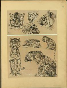 Tigres - ID: 102351 - NYPL Digital Gallery