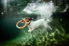 Jack Russell under water by Seth Casteel.vraag me af hoe je dit fotografeerd maar wel heel gaaf
