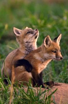 ☀Fox cub siblings show trust and affection during playtime rest, by Willian Jobes
