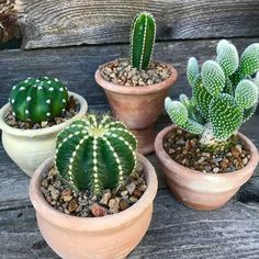 Pricked by a cactus thorn, now you are wondering if cactus poisonous is a thing or not. Here are some tips, tricks that will guide to cactus thorns. Mini Cactus Garden, Cactus House Plants, Terrarium Plants, Succulent Terrarium, Cactus Flower, Cacti And Succulents, Planting Succulents, Planting Flowers, Cactus Cactus