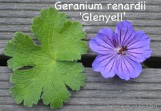 Geranium renardii 'Glenyell' a rare Geranium, with large blooms (which are a deeper violet than as shown here) and wonderful soft foliage, a stunner....low growing but upright and well behaved 9/10