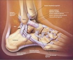Anatomy Image Organs: lateral ankle anatomy pain tendons injury posterior knee foot wrist Lateral Ankle Pain, Tendonitis In Ankle, Lateral Foot Anatomy Ankle Anatomy, Foot Anatomy, Human Body Anatomy, Human Anatomy And Physiology, Muscle Anatomy, High Ankle Sprain, Ankle Pain, Ankle Sprain Recovery, Physical Therapy School