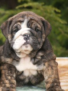 English bulldog puppy.  BooBoo.Fashion