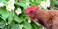David Neighbour's hen Mrs Overall - our Hen of the Month winner for May 2018