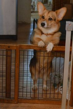 """""""Ready for me now?"""" Io the oh-so-cute Pembroke Welsh Corgi, from IoTheCorgi"""