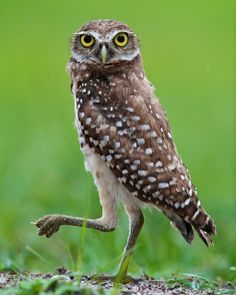 Florida Burrowing Owl (Athene cunicularia floridana) by Alessandro Abate