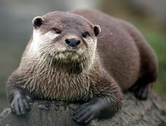 Disapproving Otter disapproves