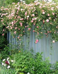 Train your climbing roses, to go across the top of a fence or wall. Watch them cascade over!