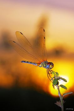 Dragonfly in sunset