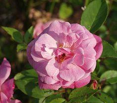 Old Blush China Rose