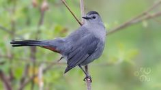 grey cat bird