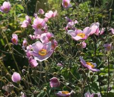 Shabby Soul:Sunday garden - My country cottage garden pink anemone