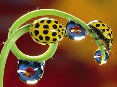 Yellow Ladybugs #insects