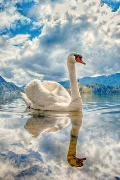 Swan - by Albin Bezjak - Reflection