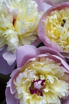 My friend Rob grows the most fragrant and beautiful Peonies in his backyard garden. These heirloom plants have been handed down from his grandfather. Here are three from a bouquet he assembled last…