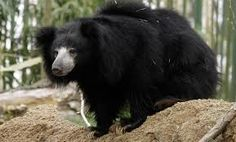 The shaggy-coated sloth bear is native to India, Sri Lanka and Nepal. Sloth bears primarily eat termites and ants, and unlike other bear species, they routinely carry their cubs on their backs. Asian Black Bear, Bear Species, The Bear Family, American Black Bear, Sloth Bear, Bear Coat, Tropical Forest, Nature Animals, Brown Bear