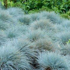 W, H Elijah Blue Fescue Grass, Festuca glauca Fescue Grass, Blue Fescue, Landscaping Plants, Front Yard Landscaping, Landscaping Ideas, Xeriscape Plants, Minnesota Landscaping, Pool Plants, Inexpensive Landscaping