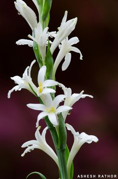 Tuberose / 'rajnigandha' / 'raat ki rani' / queen-of-the-night: polianthes tuberosa [family: asparagaceae] Indian Flowers, All Flowers, Amazing Flowers, White Flowers, Beautiful Flowers, Nardo, Garden Trees, Trees To Plant, Most Popular Flowers