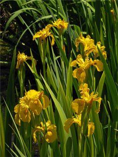 Iris pseudacorus variegata Iris, Walled Garden, Most Beautiful Flowers, Ponds, Garden Plants, Gardening, Flowers, Fenced Garden, Lawn And Garden