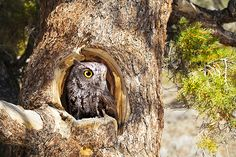 Western screech owls use calls to tell each other where they live and to ensure that neighbouring owls do not try to move too close. a screech owl's territor. Owl Species, Endangered Species, City Of Vernon, Western Screech Owl, Owl Facts, Birds Online, Small Owl, Yellow Eyes, Animals Beautiful