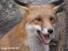 European red fox ( Vulpes vulpes )