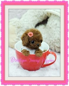 Micro Teacup Lil Red Ruby ~ Gorgeous MICRO TINY Boutique TEACUP Poodle