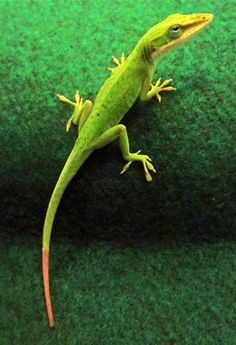 Just because a lizard can grow back its tail, doesn't mean it will be exactly the same. Researchers examined the anatomical and microscopic make-up of regenerated lizard tails and discovered that the new tails are quite different from the original ones.