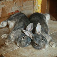 Resting bunnies cross ears - November 8, 2012