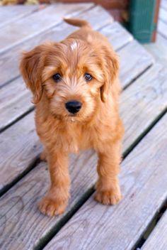 10 week old Miniature Goldendoodle named Nutmeg