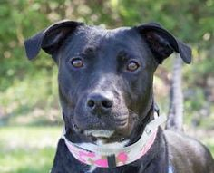 Meet Suzie!  This cute girl is a small Lab mix who is 3 years old.  She's hoping for a loving forever home with people who will take her on walks, teach her a few tricks and let her love them. For more information about Suzie,   contact Wayside Waifs at  816-761-8151.   Suzie's adoption ID number is 31040412.
