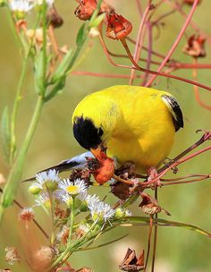 .Charming little yellow bird with a black cap