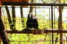 Krkavec Velký - Corvus Corax.