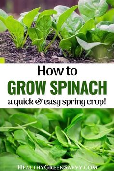 Here's everything you need to know to grow spinach in your garden this season, from selecting varieties to timing, to soil and light. Plus tips for the best harvests of juicy, tasty spinach. #gardentips #spinach #gardening #greens #superfoods #growfood