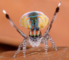 Biólogo descobre sete espécies de aranha-pavão na Austrália