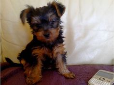 Annonce chien, chiot, Toulouse (31300) - WA154079469