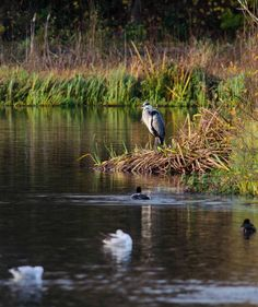 RT @MattMcG82: @wildlife_uk Saw this Grey Heron lording it over the rest of the birds at a pond in Glasgow.