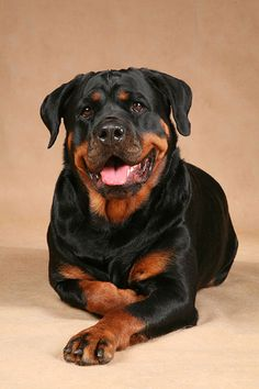 colorful pictures of rotties | El rottweiler, tan tierno como temido, un gran can |