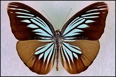 Pareronia Tritea Hermocinia -Male -Peleng Island, Indonesia -(3.25 in wingspan)