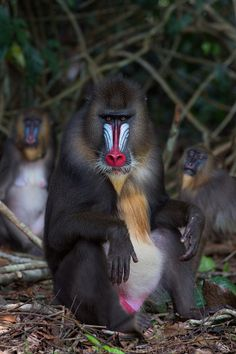 The boss and the Ladies. Male Mandrill, South Eastern Gabon's Rainforest. See more on http://facebook.com/giovanni.mari.photography
