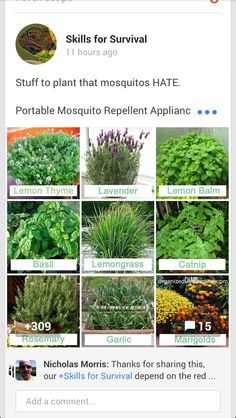 What to plant to keep Mosquitos away