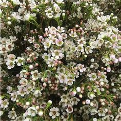 For cake: live Waxflower Maya