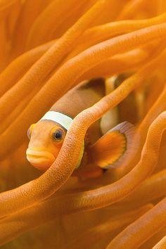 Orange - Clownfish