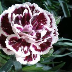 Dianthus Sissy