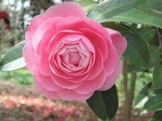 Rose sauvage. Photo de Gege.