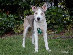 09/10/14 sl - HURRY!Houston~This DOG - ID#A414216  I am a neutered male, sable and white Siberian Husky mix.  The shelter staff think I am about 6 months old.  I have been at the shelter since Aug 29, 2014.