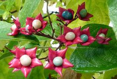 Clerodendrum trichotomum Peanut Butter Tree