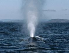 Record number of blue whales feast in Pacific's 'Serengeti'
