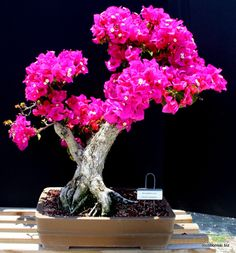 Helen Johnson Bougainvillea specimen bonsai tree.