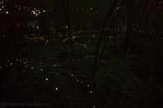 Lucciole / Fireflies